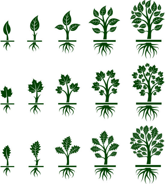 Tree Growing maple, oak and birch in nature Tree Growing royalty free vector interface icon set. This editable vector file growing tree icons icons on white Background. The interface icons are organized in rows and can be used as app interface icons, online as internet web buttons, and in digital and print. root hair stock illustrations