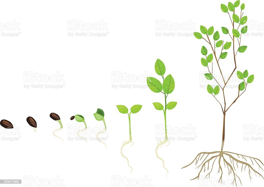 Tree life cycle vector art illustration