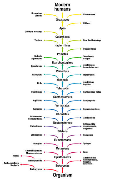 Árbol de la vida de todos los seres vivos. Árbol filogenético de la ciencia biológica con tronco (pedidos/subórdenes) y ramas (relacionados con las formas de vida). Clasificación de organismo simple para los seres humanos modernos. - ilustración de arte vectorial