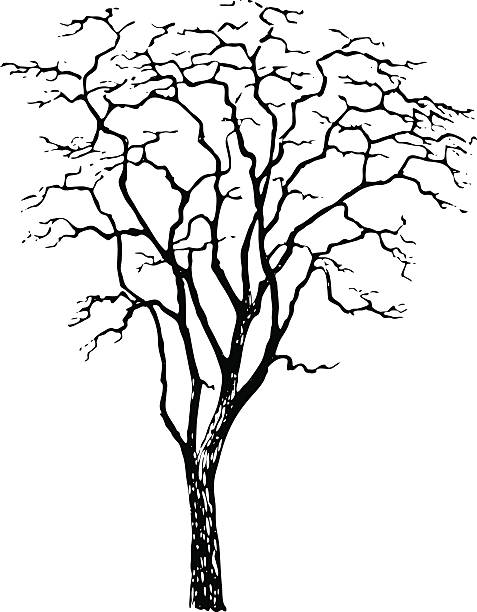 baum-robinia pseudoacacia-vektor - robinie stock-grafiken, -clipart, -cartoons und -symbole