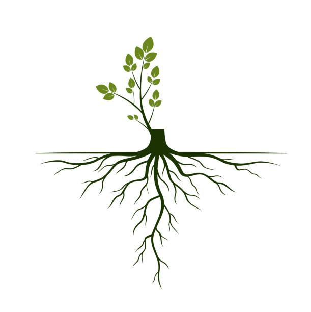 illustrazioni stock, clip art, cartoni animati e icone di tendenza di tree roots and germinate limb. roots of plants. vector illustration. - radice