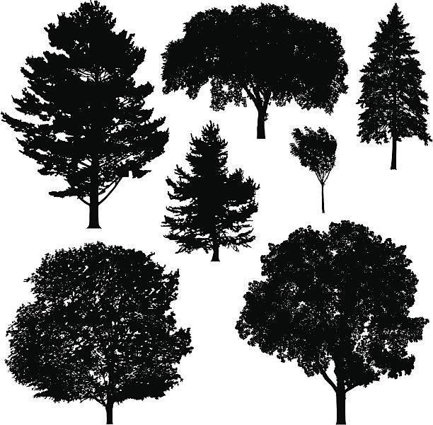 Best Beech Tree Illustrations, Royalty-Free Vector ...