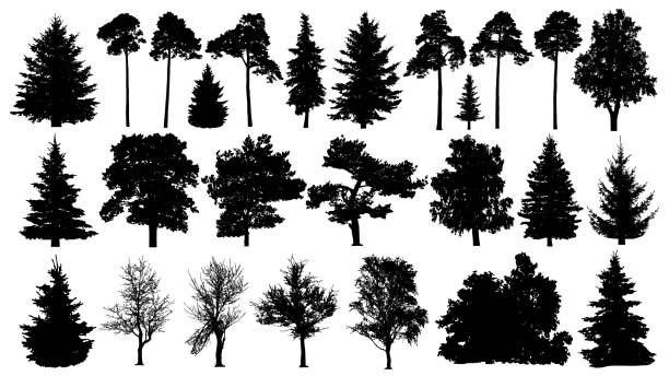 Trees set silhouette. Coniferous forest. Isolated tree on white background. Trees set silhouette. Coniferous forest. Isolated tree on white background. in silhouette stock illustrations
