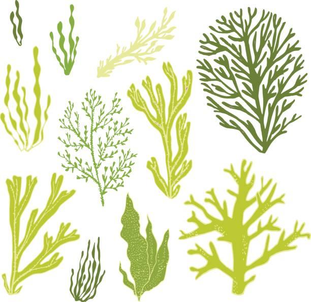 海藻 イラスト素材 Istock