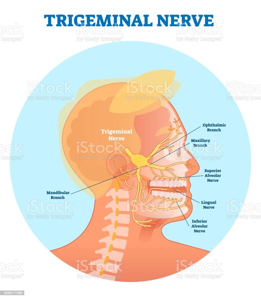 Ilustración de Nervio Trigémino Diagrama De Ilustración Del Vector ...