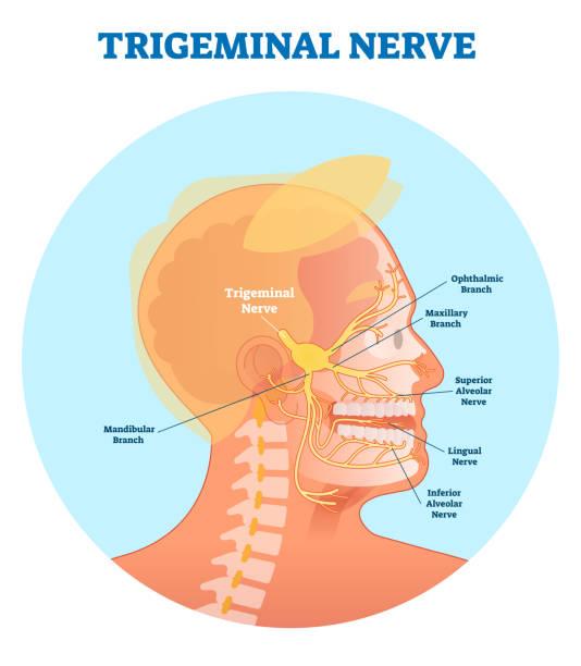 Trigeminal nerve anatomical vector illustration diagram with human head cross section. Trigeminal nerve anatomical vector illustration diagram with human head cross section. Medical nerve scheme. human jaw bone stock illustrations