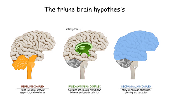 triune brain hypothesis. theory about evolution of human's brain. limbic system. Reptilian complex (basal ganglia for instinctual behaviours), mammalian brain (septum, amygdalae, hypothalamus, hippocamp for feeling) and Neocortex (cognition, language, sensory perception, and spatial reasoning).