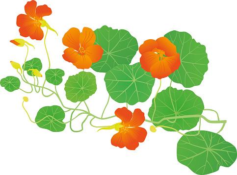 Beautiful orange medicinal herb. Isolated.