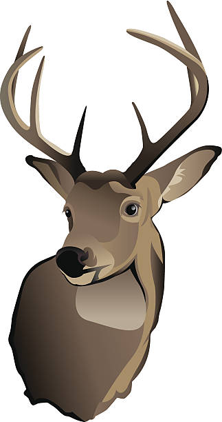 Trophy Whitetail Deer Buck vector art illustration