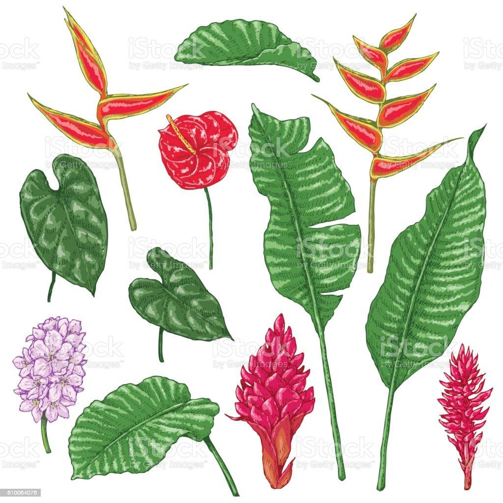 Ilustracion De Dibujo De Flores Tropicales Y Mas Banco De Imagenes