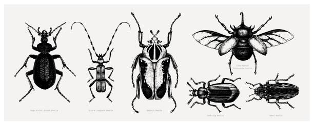 Tropical beetles collection Vector collection of high detailed insects sketches. Hand drawn beetles illustrations in vintage style. Entomological drawings set. Beetles outlines beetle stock illustrations