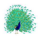 Tropical bird beauty Peacock   on a white background watercolor vintage vector illustration editable hand drawn