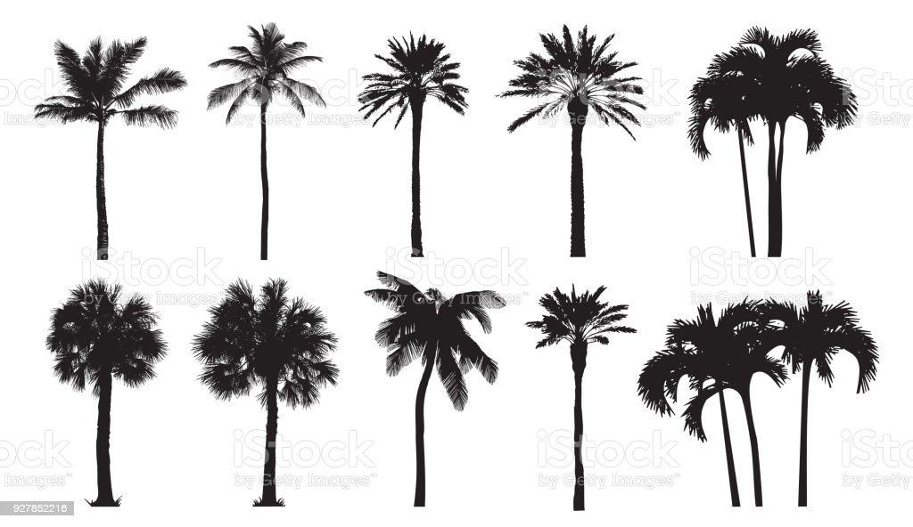 Ilustración de Palma De Coco Tropical Variedades Naturales De ...