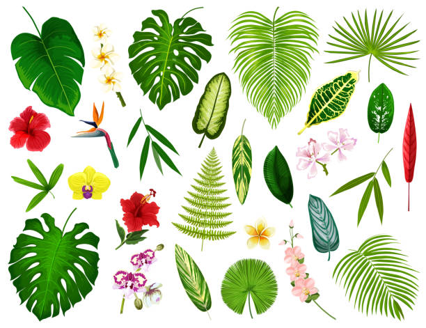 Tropical exotic plants and flowers leaf, vector Tropical leaf and flowers. Vector exotic hibiscus, banana palm or monstera leaf and fern plant, cyperus or orchid and plumeria blossom with spath or peace lily and bamboo bird of paradise plant stock illustrations