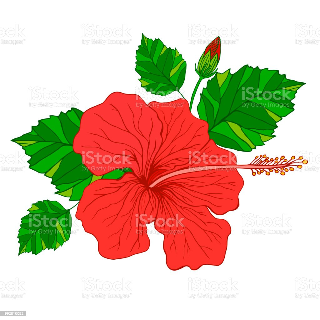 Tropical Flower Hibiscus Red Color Isolated Pattern Stock Vector Art ...