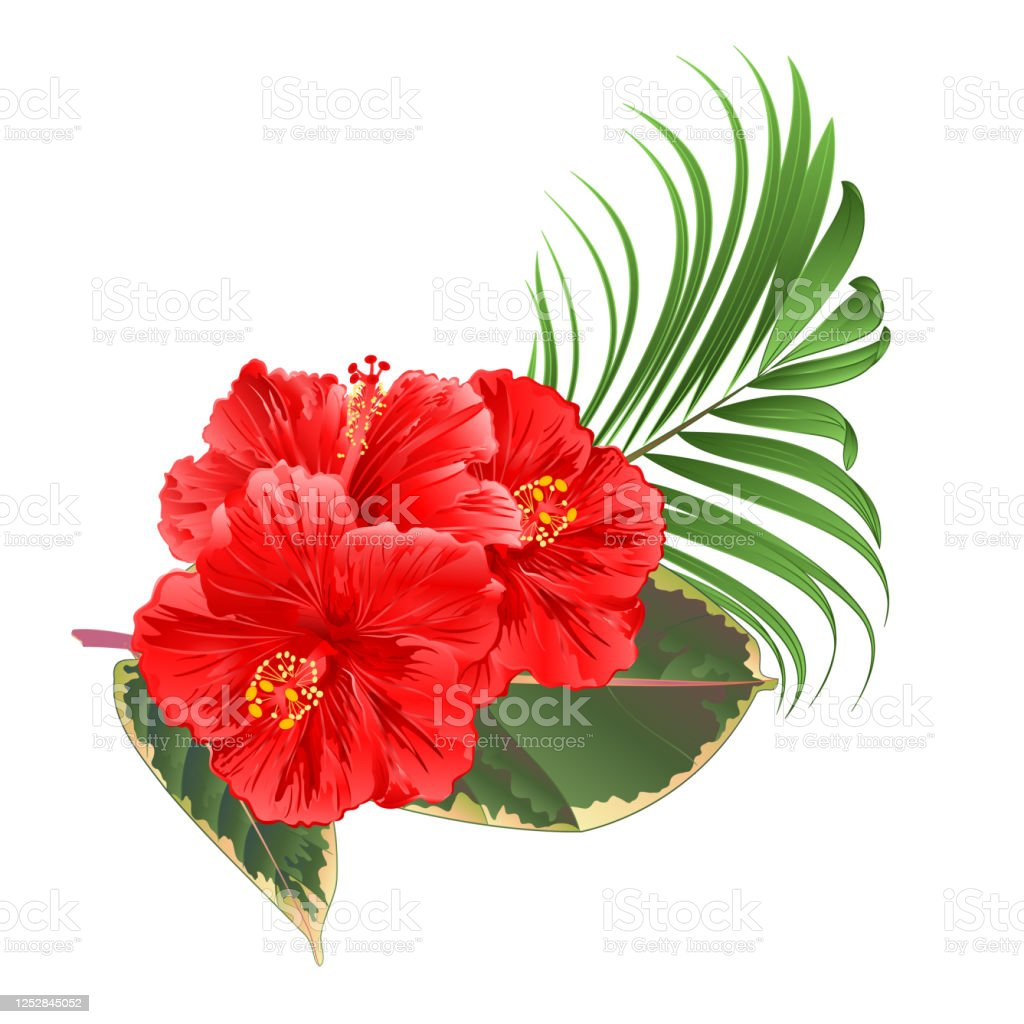 Tropical Flowers Floral Arrangement With Pink Hibiscus Palm Ficus On A White Background Watercolor Vintage Vector Editable Hand Draw Stock Illustration Download Image Now Istock