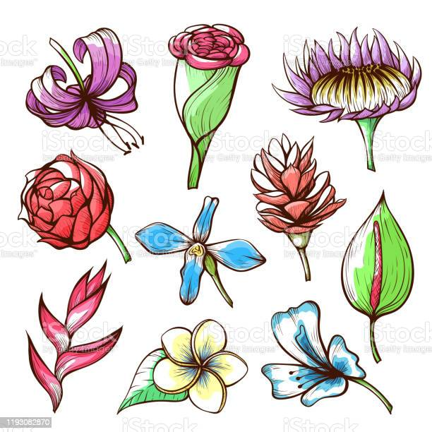 Tropical flowers hand drawn vector illustrations set vector id1193082870?b=1&k=6&m=1193082870&s=612x612&h=6b lnzkikxenpxlocwct3vfkd4n9t7jj naco e x4o=