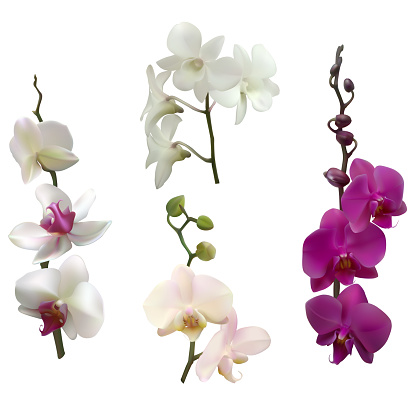Tropical flowers. Orchids. Purple. Isolated. Pink. White. Buds.