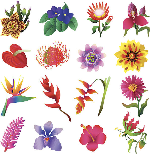 tropical flowers Vector illustrations of tropical flowers: bird of paradise plant stock illustrations