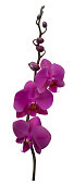 Tropical flowers. Violet orchids. Floral background. Exotic plant. Isolated. Petals. Branch. The buds.