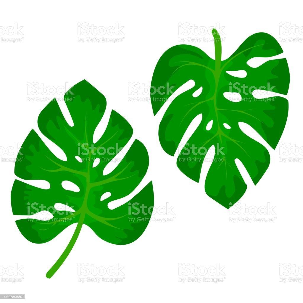 Folhas verdes tropicais da planta Monstera isolada em branco bacjground. Natureza do projeto selva tropical exótico. Ilustração vetorial - Vetor de Arte royalty-free