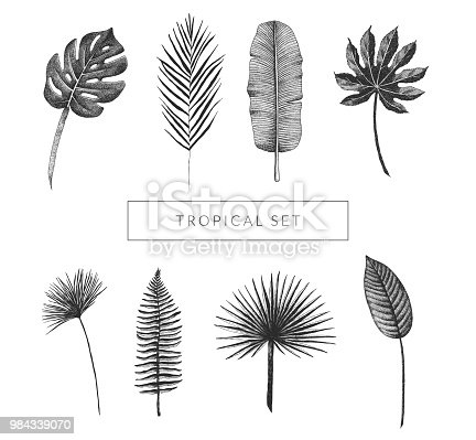 Tropical leaf collection. Vector set of hand drawn exotic plants. Monstera, fan palm, banana leaf, bird of paradise leaf, aralia, papyrus, fern frond. Vintage isolated floral graphic elements.