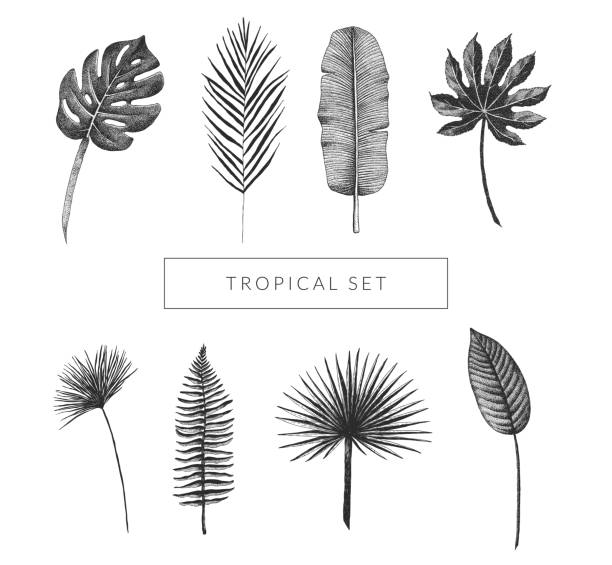 tropical leaf collection. vector set of hand drawn exotic plants. monstera, fan palm, banana leaf, bird of paradise leaf, aralia, papyrus, fern frond. vintage isolated floral graphic elements. - palm leaf stock illustrations, clip art, cartoons, & icons