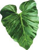 Tropical leaf.