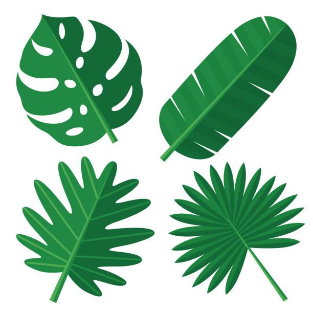 ilustrações, clipart, desenhos animados e ícones de folhas tropical - monstera