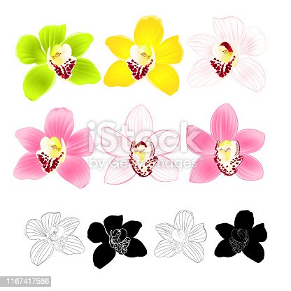 Tropical Orchid Cymbidium green pink yellow white flower realistic  and outline and silhouette on white background vintage vector illustration editable hand draw