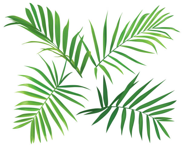 tropical palm leaves on white background. - palm leaf stock illustrations, clip art, cartoons, & icons