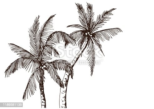 Sketch of tropical palm trees. Hand drawn vector illustration.