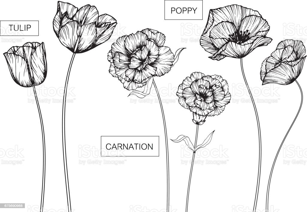 Tulip, Carnation and Poppy flowers drawing and sketch with line-art on white backgrounds.