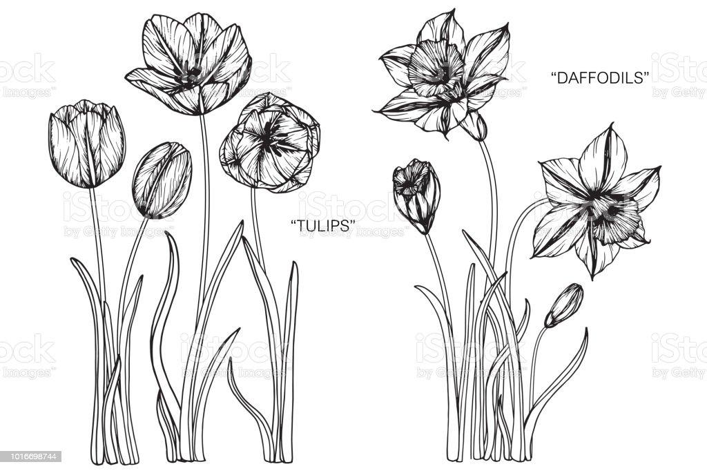 Tulipe Jonquille Fleur Dessin Illustration Noir Et Blanc Avec Dessins Au Trait Sur Fond Blanc Vecteurs Libres De Droits Et Plus Dimages Vectorielles