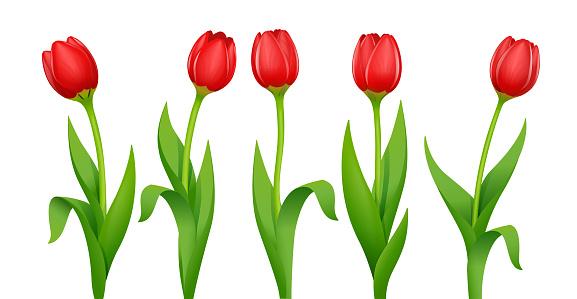 Tulip. Decorative garden spring flower. Vector illustration.
