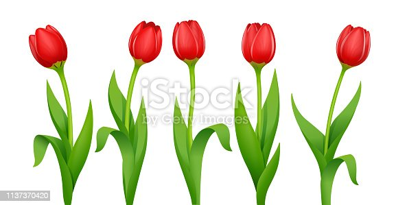 Tulip. Decorative spring flower with red bud and green leaves. Natural floristics beauty. Set of Garden bloom plants. Springtime bouquet. Isolated white background. Eps10 vector illustration.