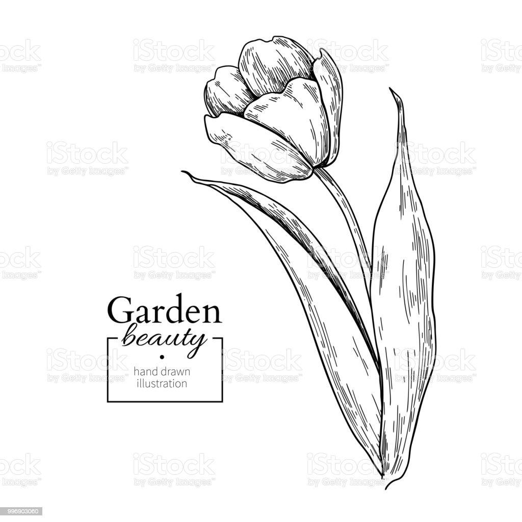 Tulipe Fleur Et Feuilles De Dessin Main De Vecteur Dessiné Flor