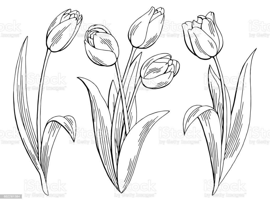 Line Drawing Of Tulip Flower : Tulip flower graphic black white isolated sketch