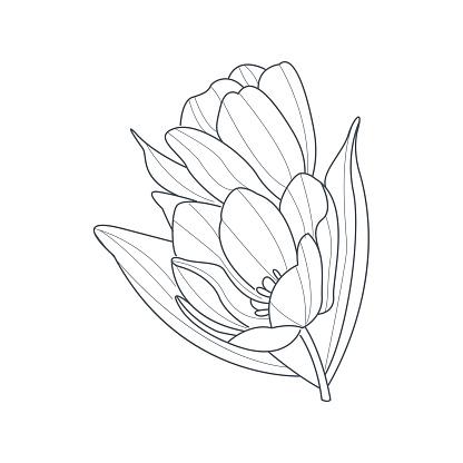 Tulipano Fiore Monocolore Disegno Per Libro Da Colorare Immagini