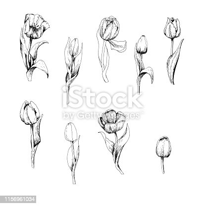 istock Tulip is a hand drawn set of Tulip branches. Sketch. 9 flowers isolated on white background. Vintage vector illustration. Vector graphics 1156961034