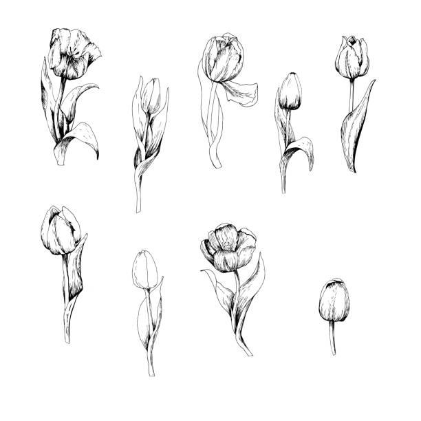 bildbanksillustrationer, clip art samt tecknat material och ikoner med tulip är en hand dras uppsättning tulpan grenar. skiss. 9 blommor isolerade på vit bakgrund. vintage vektor illustration. vektorgrafik - tulpaner