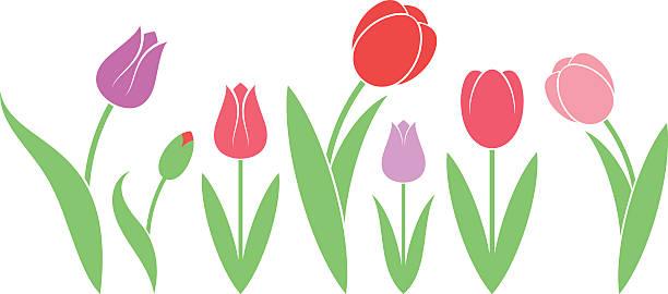 bildbanksillustrationer, clip art samt tecknat material och ikoner med tulip. isolated flowers on white background - tulpaner