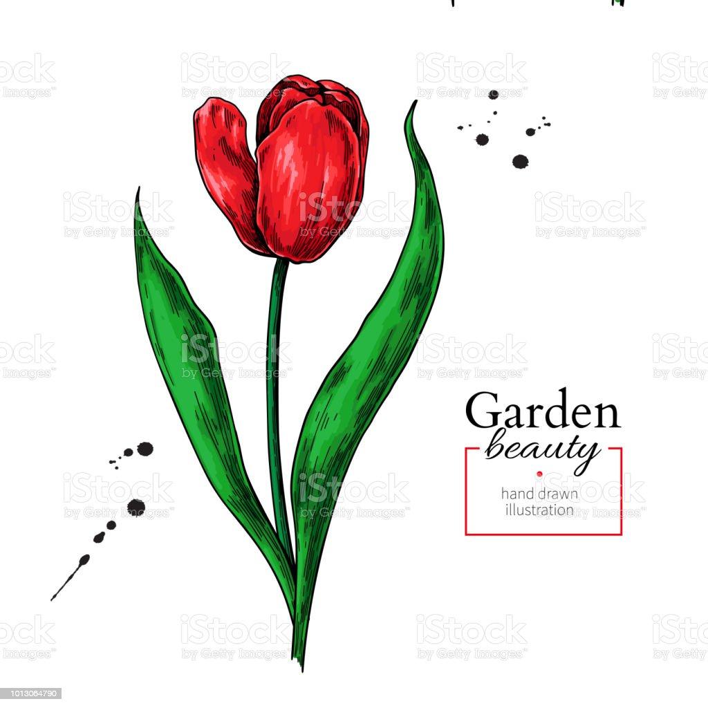 Fleur De Tulipe Rouge Et Feuilles De Dessin Main De Vecteur Dessiné