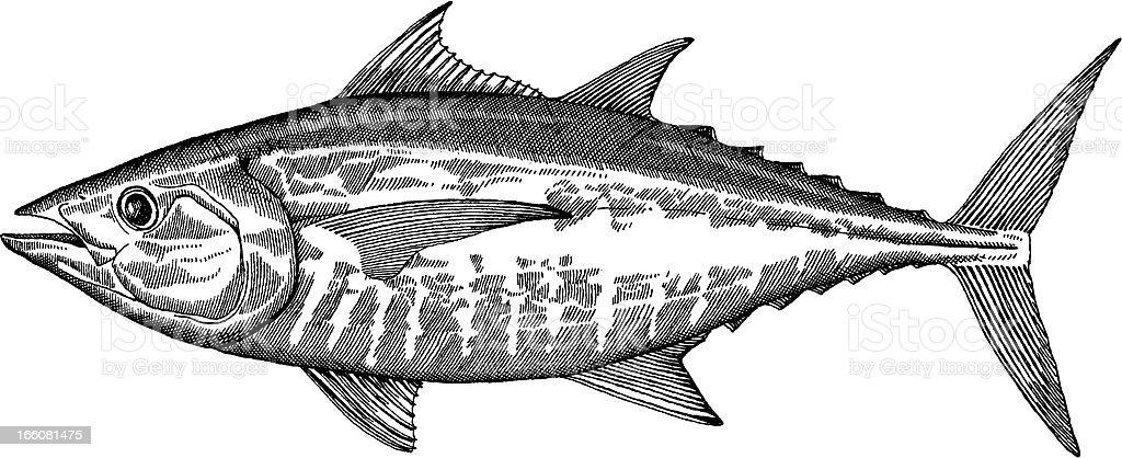 Tuna Fish Drawing vector art illustration