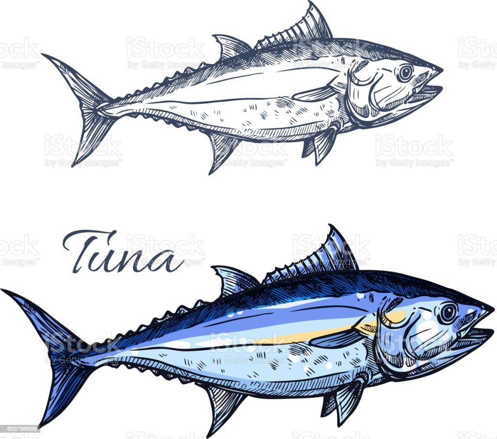 Tuna fish sketch with atlantic bluefin tunny vector art illustration