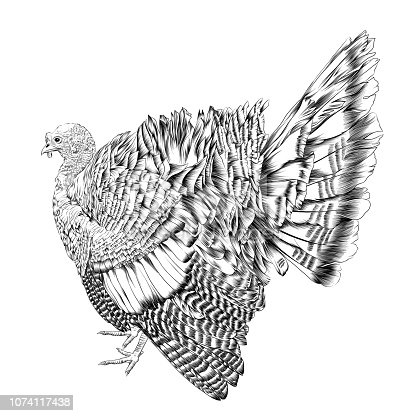 Turkey Vector Illustration in Pen and Ink Isolated on White