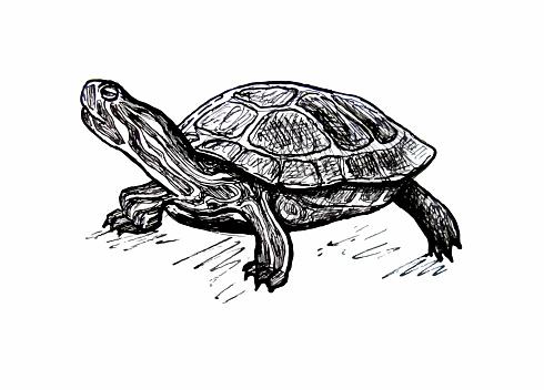 Turtle. Pond slider. Line drawing