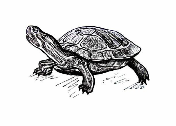 Turtle. Pond slider. Line drawing Red-eared pond slider turtle stock illustrations