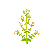 Tutsan herb plant vector isolated  on white