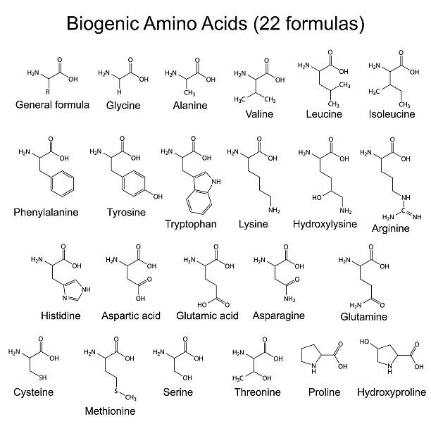 Twenty two biogenic amino acids - chemical formulas Twenty two biogenic amino acids - chemical formulas, 2d illustration, vector, eps 8 amino acid stock illustrations